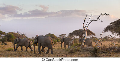 Elephants in front of Kilimanjaro, Amboseli, Kenya