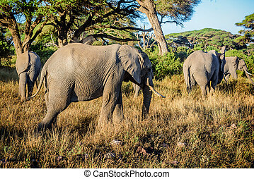 Elephants in Kenya , Africa