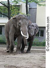 Elephants in love in Berlin Zoo