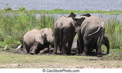Elephants in mud in Amboseli