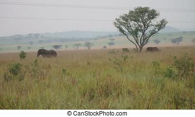 Elephants in plains, Queen Elizabeth National Park, Uganda -...
