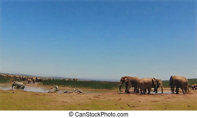 Elephants in puddle