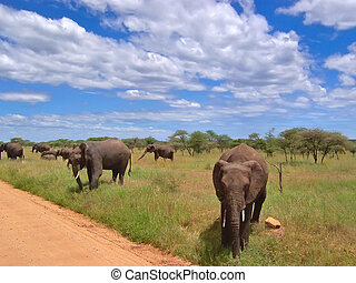 Elephants in the african savanna - Serengeti park - Tanzania.