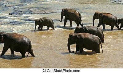 Elephants in the river - Sri Lanka