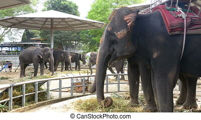 Elephants in the Zoo with a Cart on the Back are Eating. Thailand. Asia.