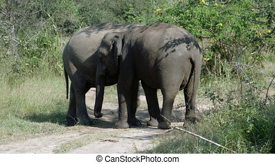 Elephants in their natural habitat - Two wild elephants...