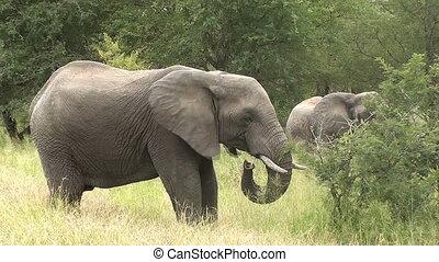 wild elephants in kruger national park