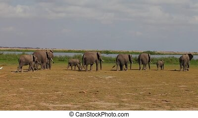 Large herd of African elephants walking on the savannah. Amboseli. Kenya