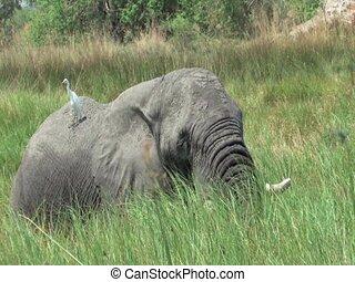 Elephants Okavango Delta, Botswana