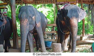 elephants on a farm in tropical Asia. walks on elephants through the jungle, safari park