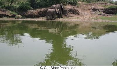 Elephants on Kazinga Channel, Queen Elizabeth National Park,...