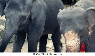 Elephants Pretend To Dance - Elephants are forced to move...