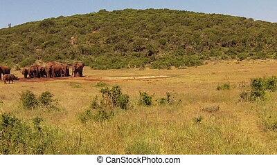 Elephants South Africa - African elephants in Addo Elephants...