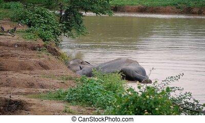 Elephants take a bath in Kwae-noi river. Sri lanka national park