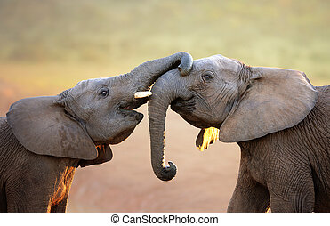 Elephants touching each other gently (greeting) - Addo ...