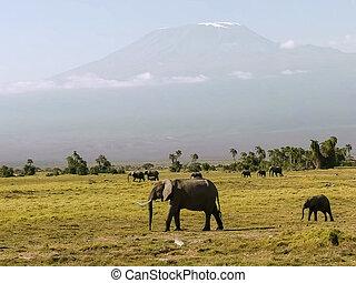 elephants walk past mt kilimanjaro at amboseli, kenya