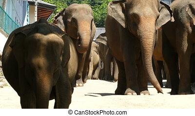 Elephants walking down the street in Sri Lanka