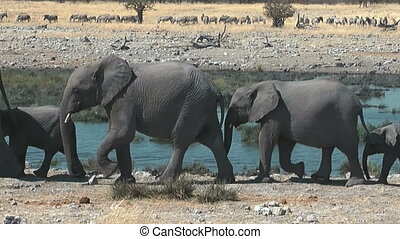 Elephants walking in single file at waterhole in Ethosha National Park Namibia Africa. Group of zebras in background