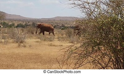 Elephants walking in Tsavo National