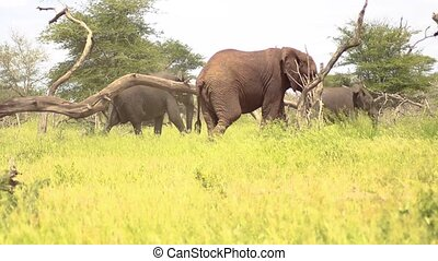 Elephants Walking on Savannah in Kruger National Park