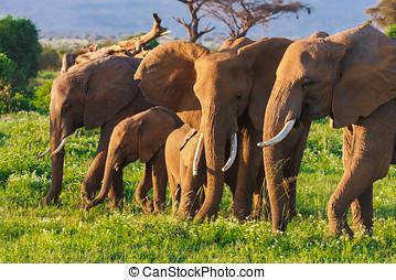 elephats, グループ, 中に, サバンナ, の, amboseli., kenya, アフリカ