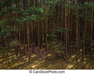Elevated view trough dense pine forest