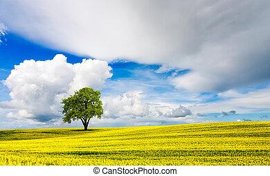 elhagyott, tölgyfa, alatt, sárga, oilseed, mező