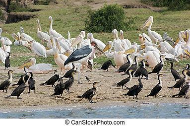 elizabeth, nacional, reina, parque, uganda, aves