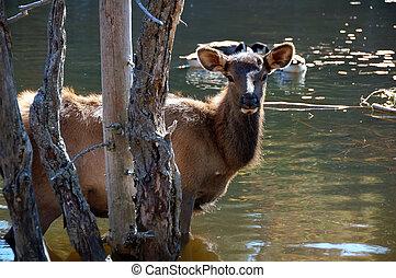 Elk (Cervus canadensis) in water