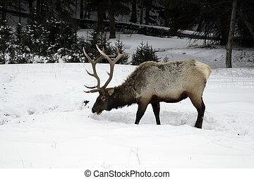 Elk, Cervus elaphus, single animal in snow, Yellowstone, USA