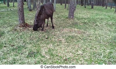 Elk feeds in the forest. The elk is located in the protected...