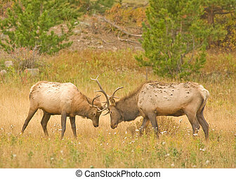 Elk Fighting - Two male elk fighting during the fall rut