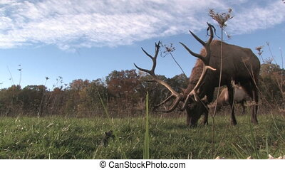 Elk Grazing, Low Angle 1
