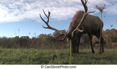Elk Grazing, Low Angle 2