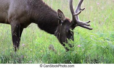 Elk Grazing - Redwoods National Park, Adult male Elk grazing...