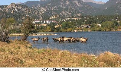 Elk Herd in Lake
