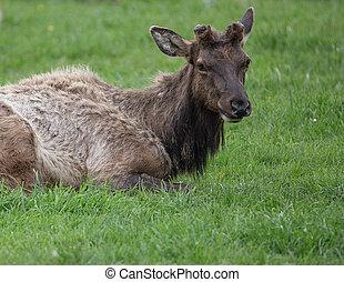 Elk Herd on California Coast - A large elk herd on the...
