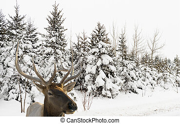 elk in front of a snowy forest