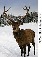 Elk in the Snow - Elk walking in a snow filled field in ...