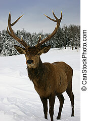 Elk in the Snow - Elk walking in a snow filled field in...