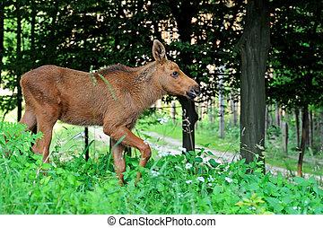 Elk in their natural habitat