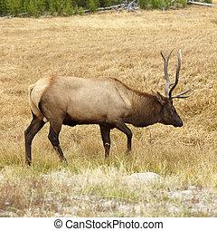 Elk in Yellowstone Park.