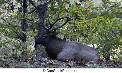 Elk Laying Down and Chewing near the Great Smoky Mountain...