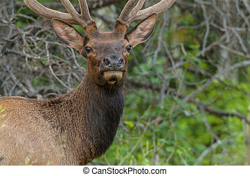 Elk looking toward the camera close up