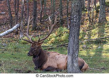 Elk Lying in the Grass