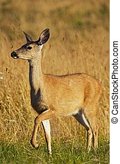 Elk Meadow - Northern California, USA. Young Elk on Grass. Wildlife Photography Collection.