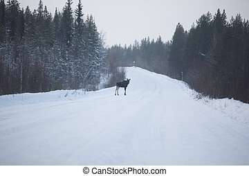 Elk on winter road