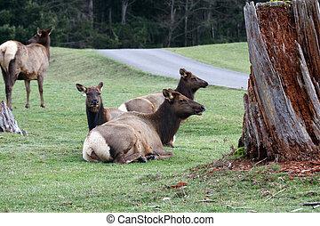 Elk. Photo taken at Northwest Trek Wildlife Park, WA.