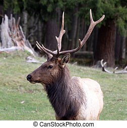 Elk. Photo taken at Northwest Trek Wildlife Park, WA.