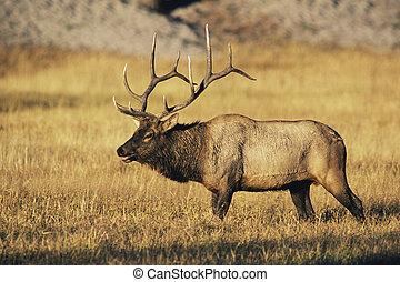 elk, tyr